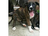 Boxer x puppies for sale!