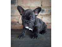 Adorable KC French Bulldog puppies