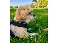Long term, reliable dog sitter for calm 14yr Lhasa apso. £10 per night. airline crew