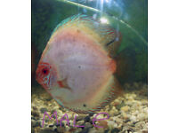 The most beautiful Discus fish pair large discus