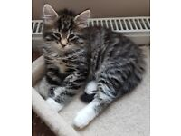 BENGAL X KITTENS LOOKING FOR LOVING HOMES