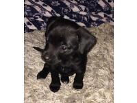 Staff x lab puppy girl