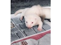 [Last One] Semi Angora Ferret Kit