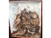 Taxidermy rare large corner case of exotic birds ,