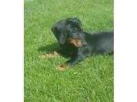 Georgeous dachshund puppy