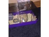 8 week Syrian hamster