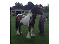 DRIVING MINI COB PONY FOR SALE OR PARTX