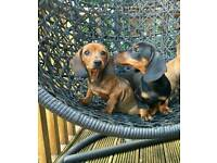 For Sale Dachshund puppies