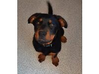 5 months female rottweiler pup