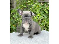 Blue and Tan IZABELLA carriers French Bulldog Puppies Available