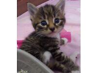 Stunning Tabby Kittens !!