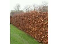 End of season bare root hedging