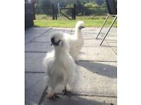 1x White silkie bantam cockerel for sale