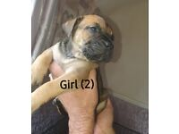 Pressa cross mastiff puppies