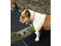 British english bulldog female kc registered
