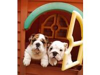 BULLDOG PUPPIES FOR SALE **READY TO LEAVE** KC REGISTERED