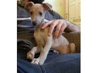 KC Regd fawn whippet puppy