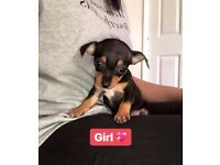 Beautiful Chihuahua girl pup for sale last one! Black and Tan