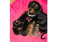 Miniature dachshunds for sale