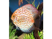 Discus Lot - Aquarium Fish