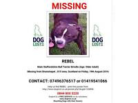 Staffy missing Drumchapel
