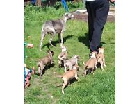 bearded collie greyhound X whippet male pups