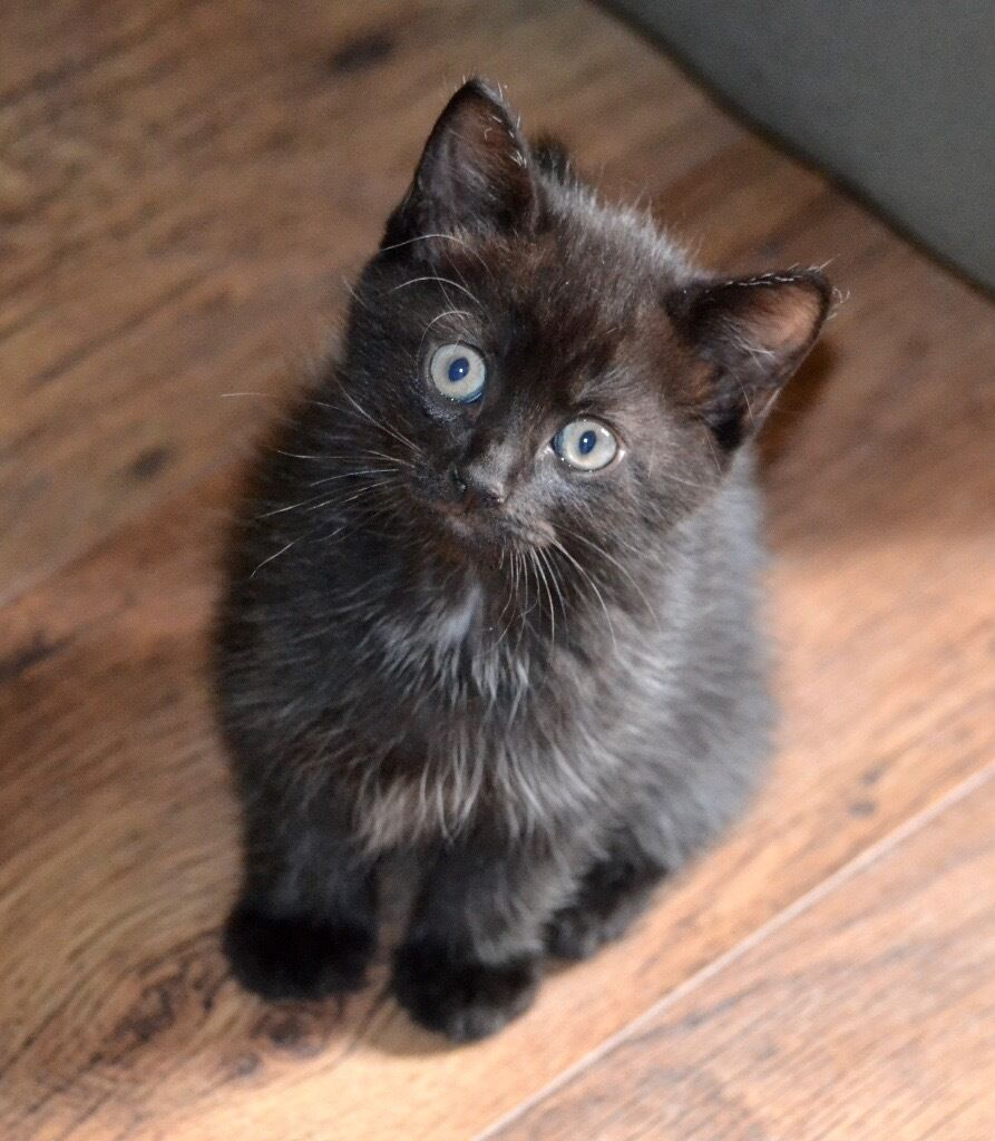 4 cute black kittens for sale UPDATE 2 male kittens left