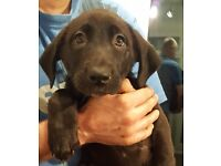 Akita/Boweiner female puppy