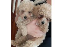 2 teacup poochon puppies left . Ready now