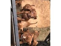 Just 5 XL bully girl puppies for sale..