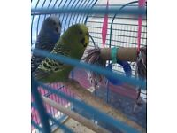 2 budgies for sale with cage