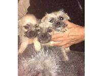 Pug cross poodle puppys