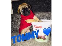 3/4 PUG ..... LITTLE TOMMY