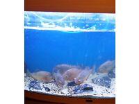 9 big red belly piranhas