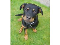 SOLD***Rottweiler bitch for sale (5 months old)***SOLD***
