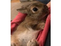 With Cage Male Buck Dwarf Netherland Rabbit brown Bunny