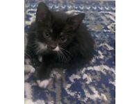 Black Tuxedo Half Bengal kitten for sale