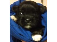 SHIH-APSO PUPPIES FOR SALE
