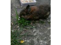 Dawrf rabbit