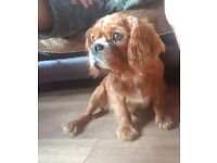 Cavalier King Charles 4 years old