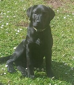 Beautiful 16 week old KC Registered Black Labrador retriever