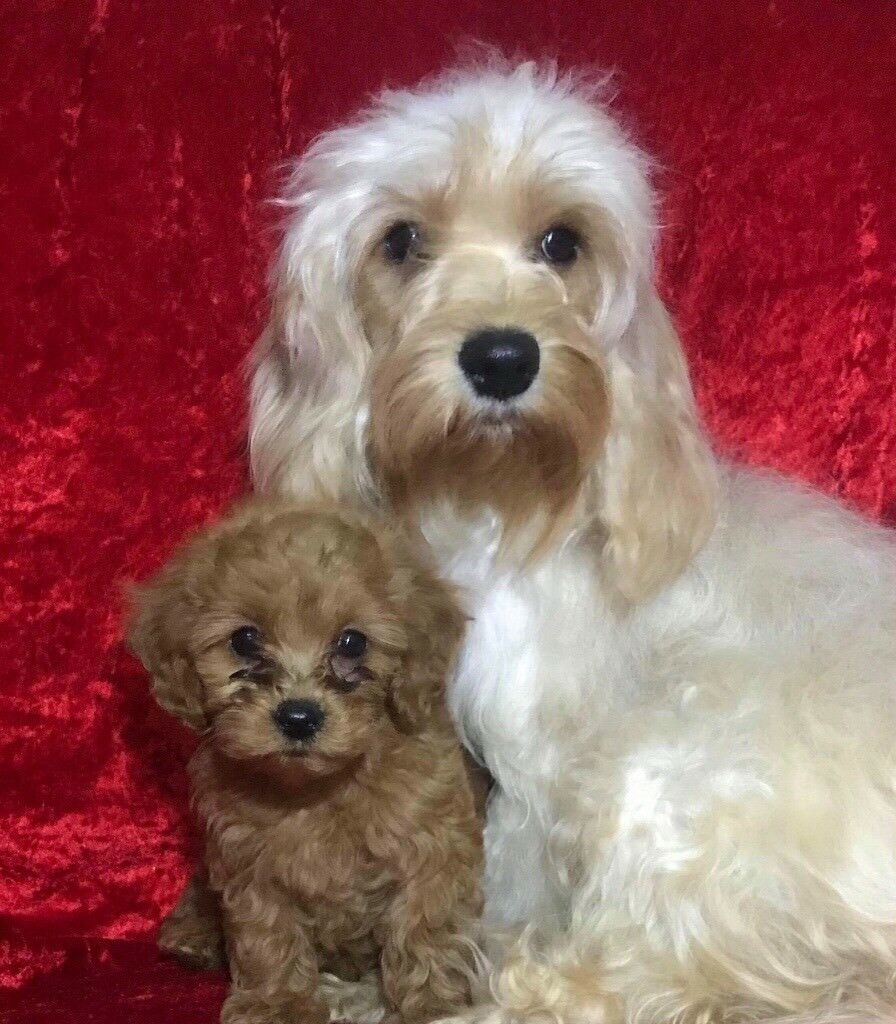 Cavapoo toy size small puppies poodle x puppy dog bitch PRA | in  Fforestfach, Swansea | Gumtree