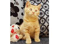 British shorthair Kittens For New Loving Home. £1200 Each