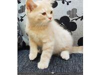 British shorthair Kittens For New Loving Home. £799 Each