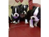 **quality bred Boston terrier puppies**