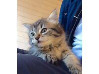 Very cute Maine Coon cross kitten