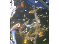 Koi carp fish pond goldfish for sale