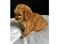 Red cavapoo pups ready now