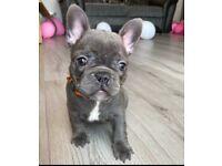 french bulldog puppy girl REDUCED