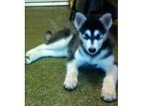 Alaskan Malamute female puppy last one